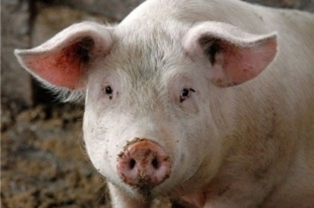 НаКамышин напала африканская чума свиней