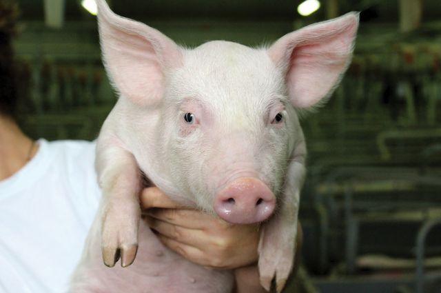 Теперь свиноводы будут получать потомство с улучшенными мясными качествами.