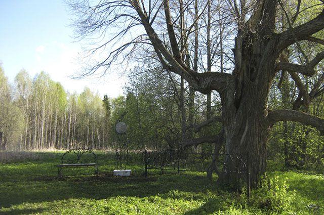 Еще одна липа Васнецовых вКировской области стала монументом живой природы