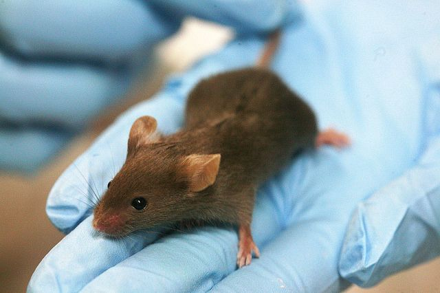 ВГермании биологи сделали живую мышь на100% бесцветной