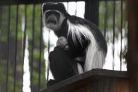 Колобусы - необычные обезьяны, их истребляли из-за шерсти.