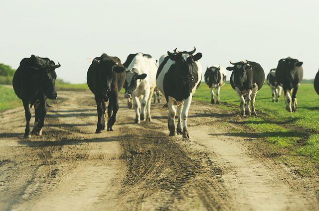 Разводить скот нынче дорого и хлопотно. Как вести дела грамотно, фермеров научат.