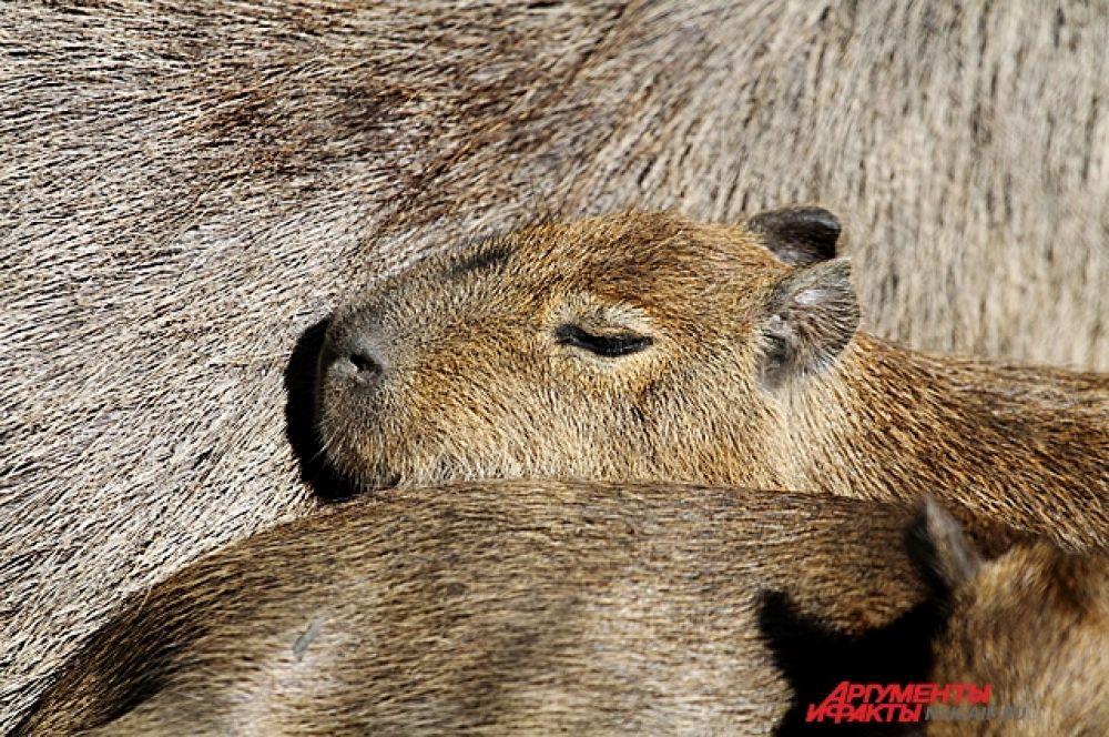 На солнышке возле родителей пригрелись маленькие капибары. Эти грызуны одни из крупных в мире.