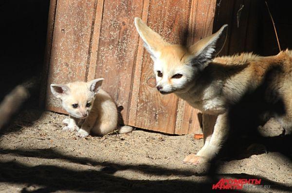 Лисица следит за своими детёнышами и настороженно относится к гостям зоопарка.