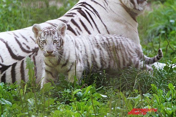 Конкуренцию белому медвежонку может составить белый тигрёнок. Только гулять его мама выводит не часто.
