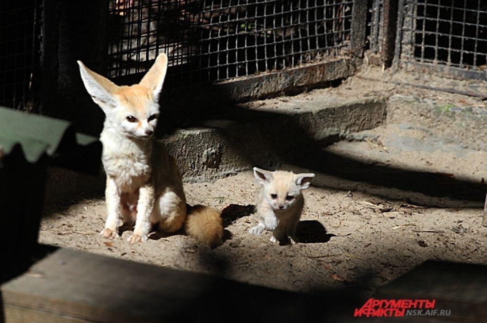 У лисят фенька уши ещё маленькие, но слух уже острый как и у родителей.