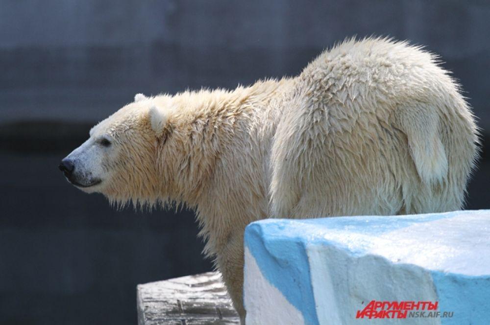 Главные знаменитости зоопарка - семья белых медведей. Возле них всегда собирается много зрителей.