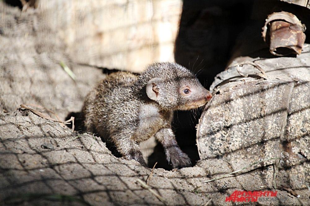 Шустрые мангусты смело выходят из своих норок. Но в клетке их надо умудриться разглядеть, они ещё совсем маленькие.