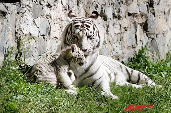 У пары бенгальских тигров Зао и Зайка четвёртый раз родился малыш.