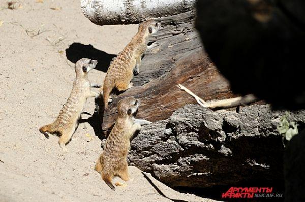 У любопытных сурикатов ни минуты без движения. Малыши исследуют свои владения.