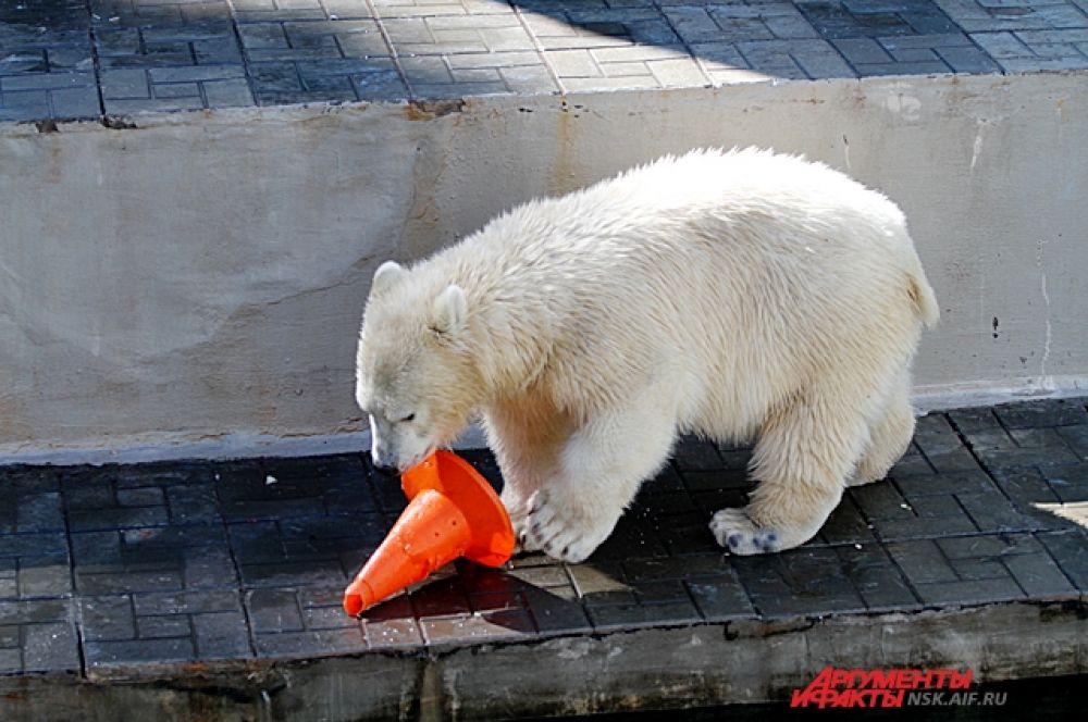 За лето медвежонок, которого назвали Ростик, подрос. Он теперь смело плавает в бассейне и как мама показывает трюки.