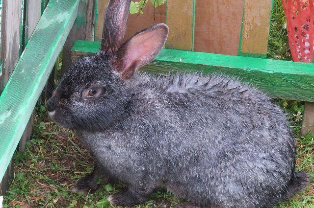 ВЛунинском районе милиция раскрыла кражу кроликов