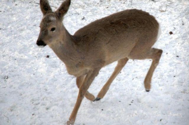 Охота на косулю сибирскую будет открыта в два срока.