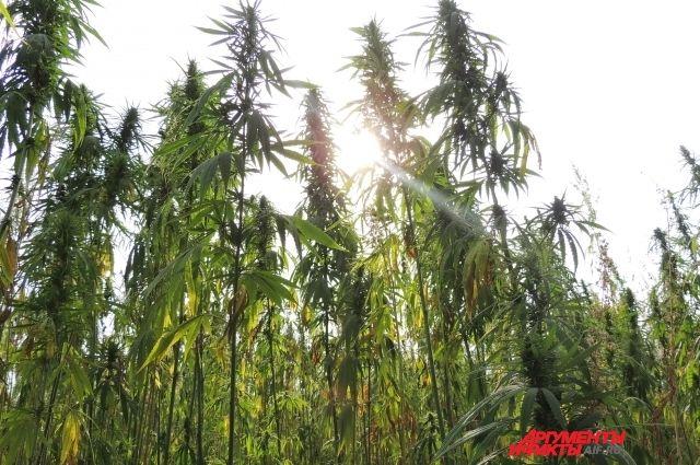 Поле конопли московская область купить марихуану 1 грамм
