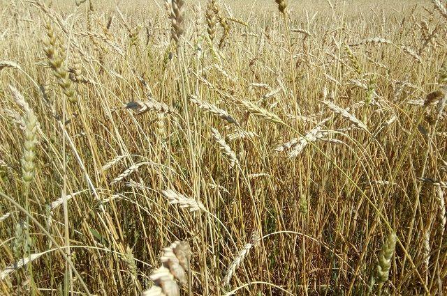 ВИшиме заработала 2-ая очередь завода поглубокой переработке зерна