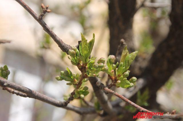 ВТюмени втретем месяце лета повторно зацвели деревья