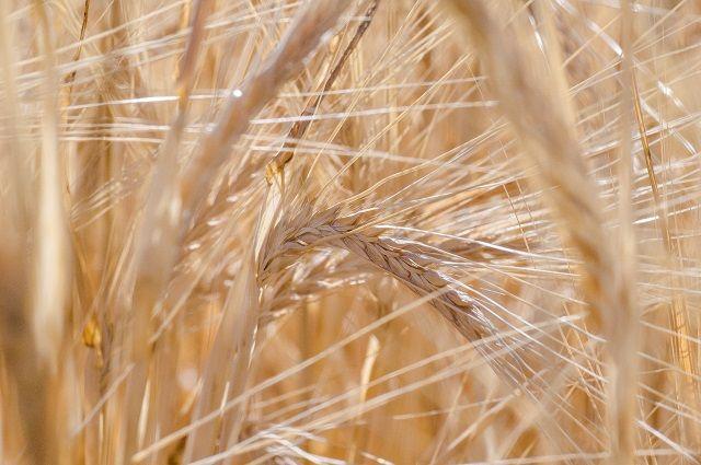 ВРязанской области намолотили больше 1,1 млн тонн зерна