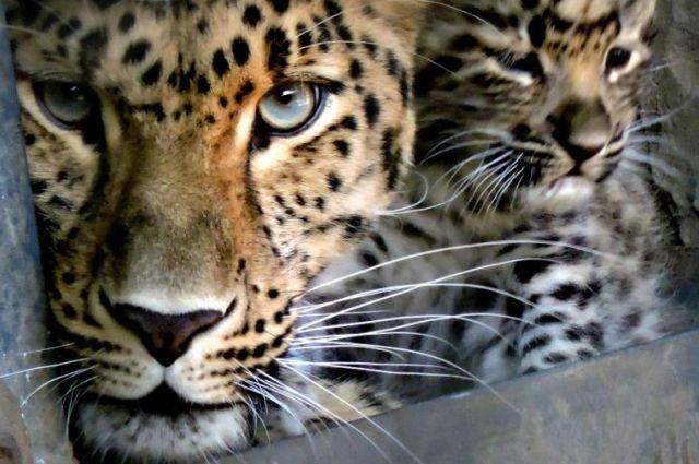 Котят леопарда вСочи привьют выстрелом изпистолета сошприцем