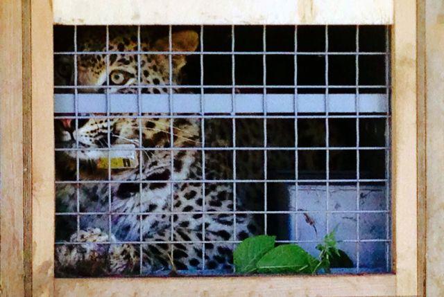 Семья леопардов вСочи пополнилась 2-мя девочками и парнем