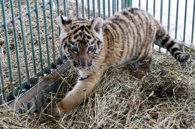 Теперь у тигрят есть свои имена.