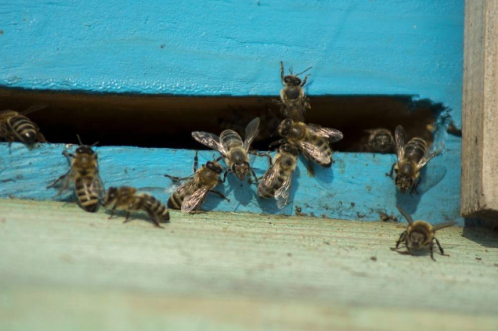 Первое, что делают пчёлы, вылетая после зимовки из ульев - облётываются, то есть испражняются. Ведь всю зиму они... терпят.