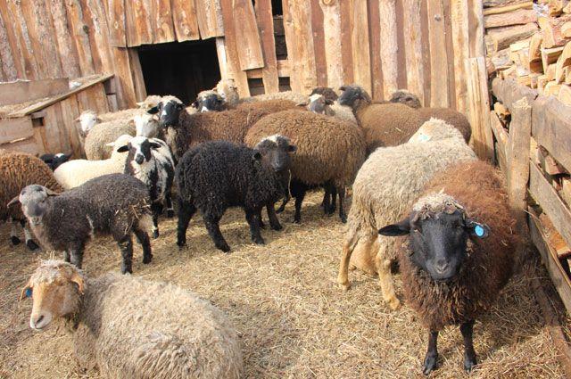 Из-за овечьей оспы вЯрославской области уничтожено стадо овец