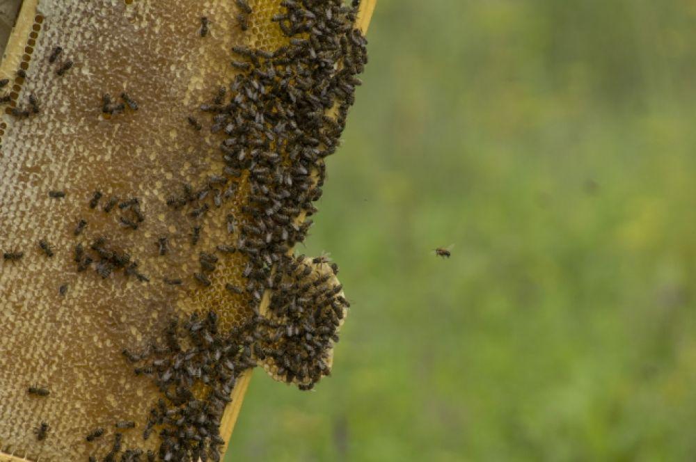 Ближе к осени, чувствуя приближение холодов, пчёлы становятся агрессивными. Защищают своё богатство от вторжения.