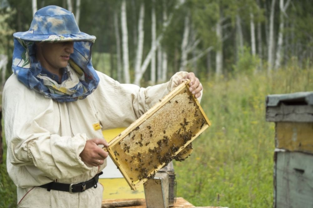 Дмитрий, как и его отец, забирает рамки из ульев голыми руками - чтобы не повредить ни одну пчелу.