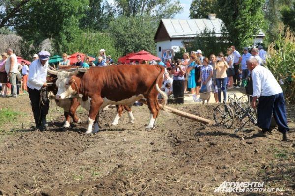 Одним из самых необычных событий стала вспашка земли на быках.