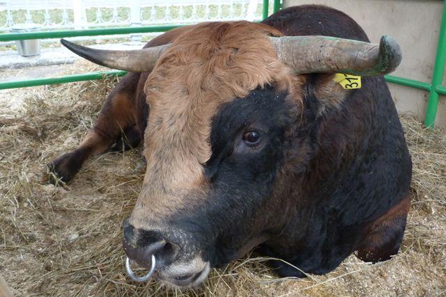 ВТюмени мужчину увезли наскорой спроникающим ранением после атаки быка