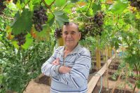 Виноград растёт на обычном навозе.