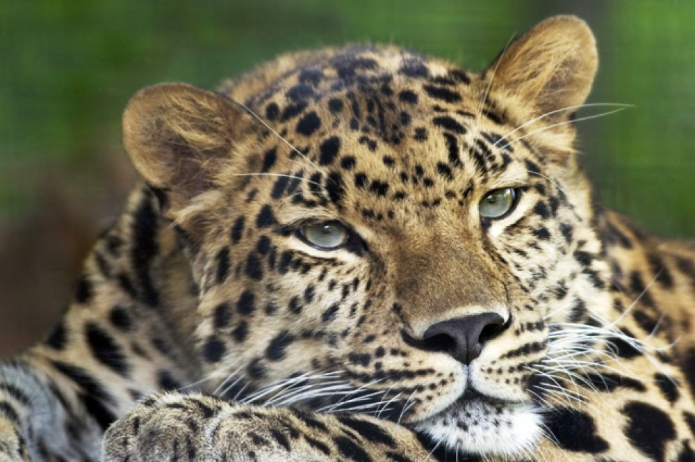 Дальневосточный леопард. В настоящее время дальневосточный леопард находится на грани вымирания. Это самый редкий из подвидов леопарда: по состоянию на февраль 2015 года в дикой природе сохранилось 57 особей на территории национального парка «Земля леопарда» и от 8 до 12 в Китае.