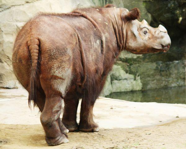 Суматранский носорог. В настоящее время вид находится на грани исчезновения, сохранилось всего 6 жизнеспособных популяций . Численность суматранских носорогов трудно определить из-за их одиночного образа жизни, но по оценкам она составляет менее 275 особей. Ее снижение обусловлено, прежде всего, браконьерской охотой на рога, популярные в китайской медицине.