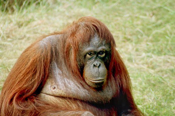 Калимантанский орангутан. Кроме вырубки лесов, для орангутанов опасность представляют браконьеры, часто убивающих взрослых особей и забирающих детенышей, которые хорошо продаются на черном рынке. Также пользуются спросом и мертвые животные для изготовления чучел.