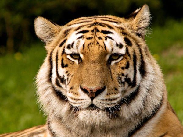 Амурский тигр. Один из самых малочисленных подвидов тигра: по предварительным данным тигриной переписи 2015 года, на Российском Дальнем Востоке обитает 540 особей.