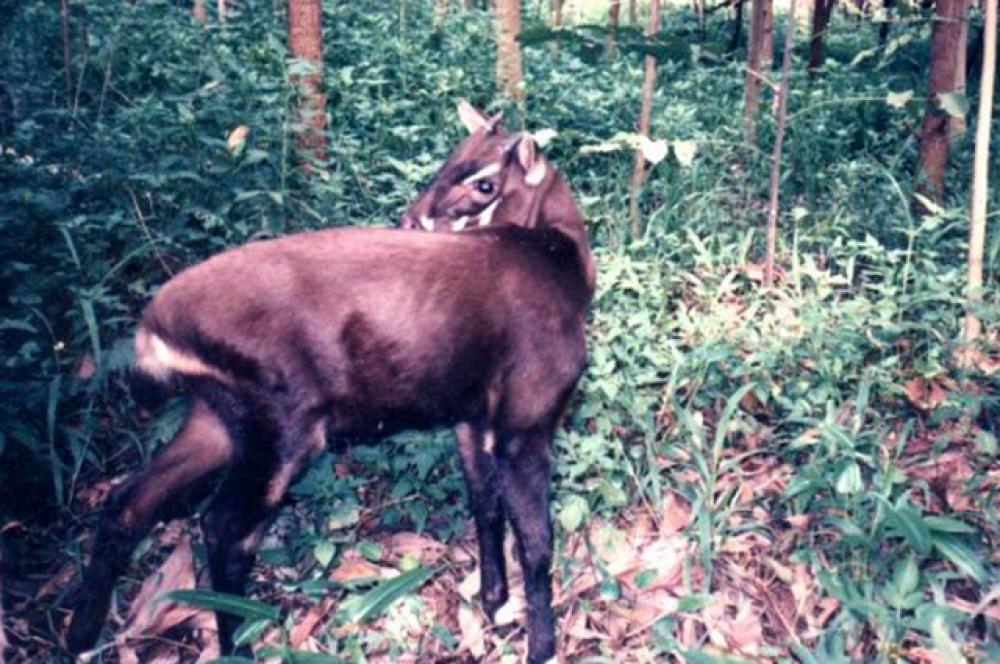 Саола. Вид был впервые научно описан в 1993 году, в том же году получил научное название. Его открытие было своего рода сенсацией, так как никто не ожидал, что в конце XX века ещё можно будет открыть новый неизвестный вид крупных млекопитающих. Впервые поймать и сфотографировать живую саолу удалось только в 1996 году в Лаосе. Находки и фотографии этих животных остаются крайне редкими, так как это один из самых малочисленных видов полорогих в мире.