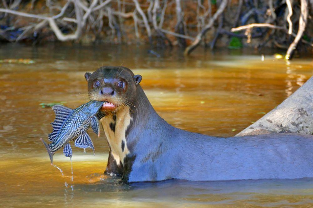 Бразильская или гигантская выдра. Вне Южной Америки живут лишь немногие гигантские выдры в различных зоопарках. Их разведение в неволе складывается очень трудно.