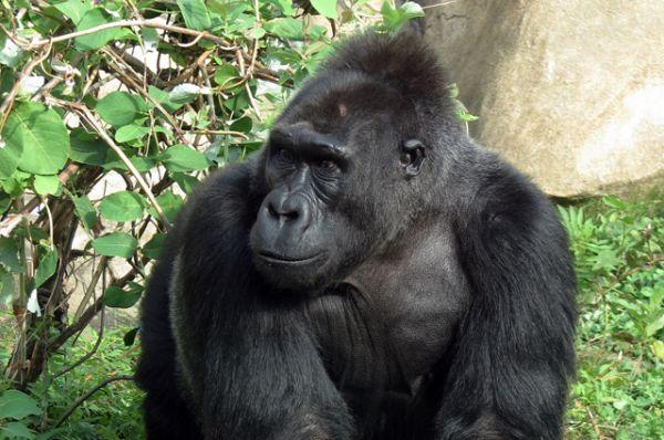 Западная горилла. Лихорадка Эбола снизила их численность в охраняемых территориях на одну треть в период с 1992 по 2007 год. Браконьерство, коммерческие лесозаготовки и гражданские войны в странах, где обитают гориллы, также являются угрозами для этого вида животных.