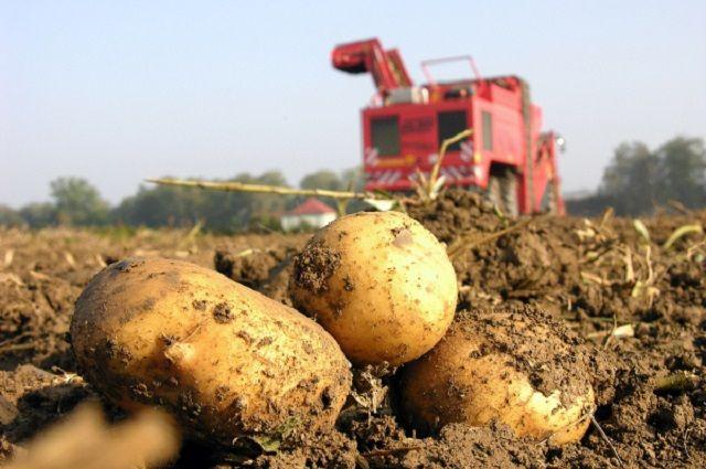Брянский картофель отправят наэкспорт вЧили иСенегал