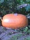 Тыква-гигант! Длина: 76 см, диаметр: 1,16 м