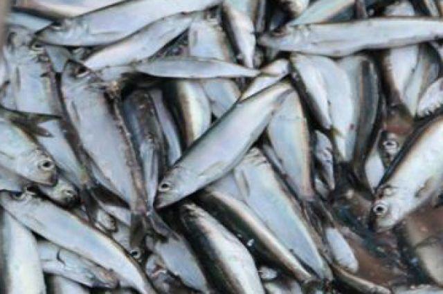 Калининградским рыбакам увеличили объем добычи кильки в Балтийском море.