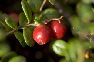Ягоды брусники - настоящий кладезь витаминов.