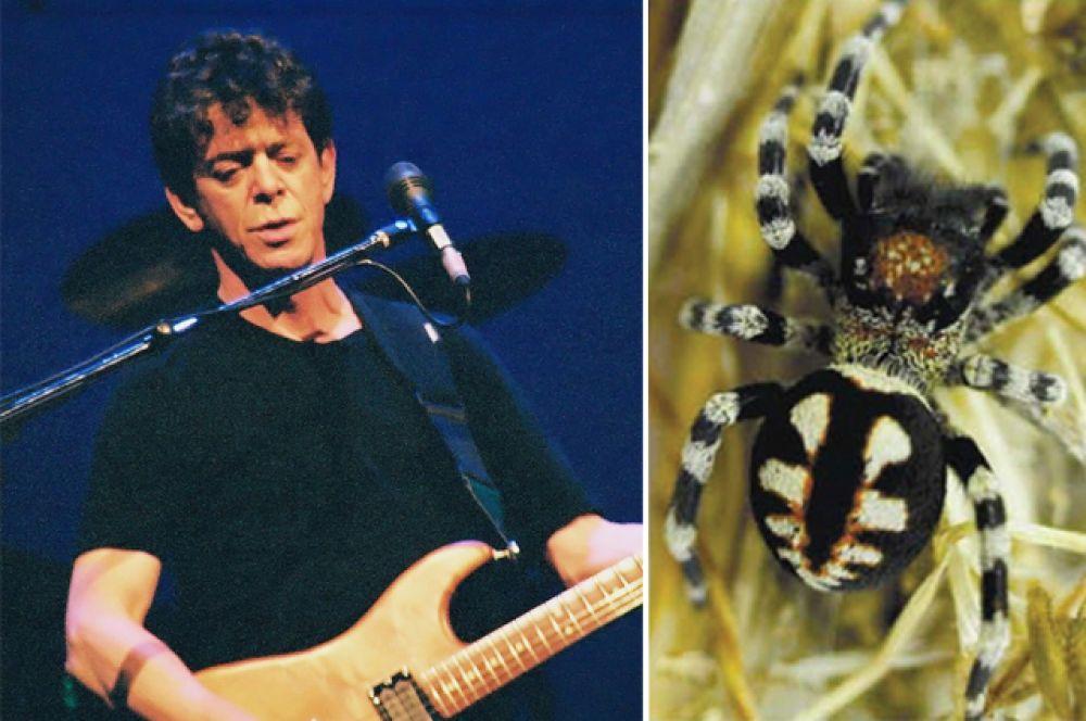 Лу Рид и паук Loureedia.