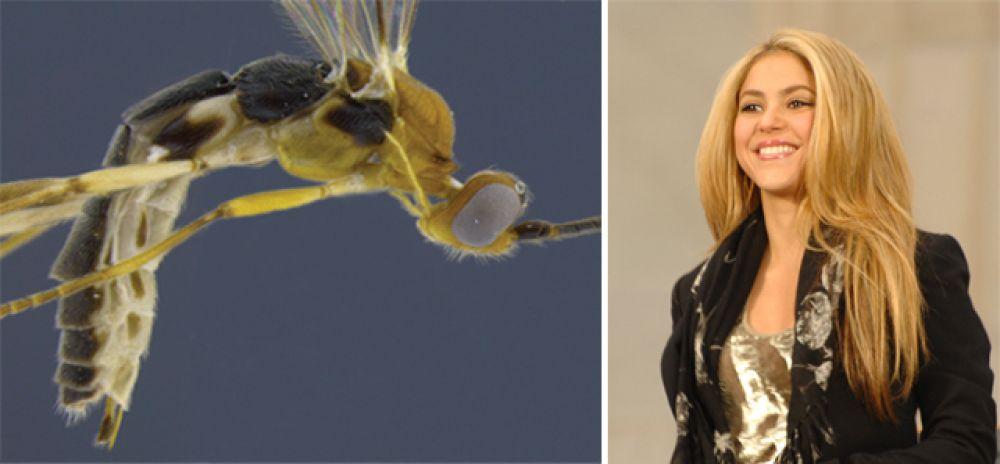 Певица Шакира и оса Aleiodes shakirae.