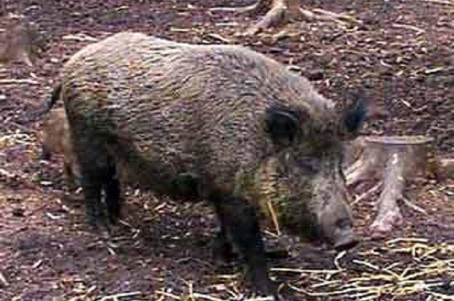 ВВадинском районе браконьер поймал кабана вкапкан