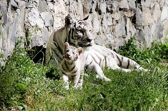 Бенгальского тигренка без документов изъяли ужителя Новороссийска