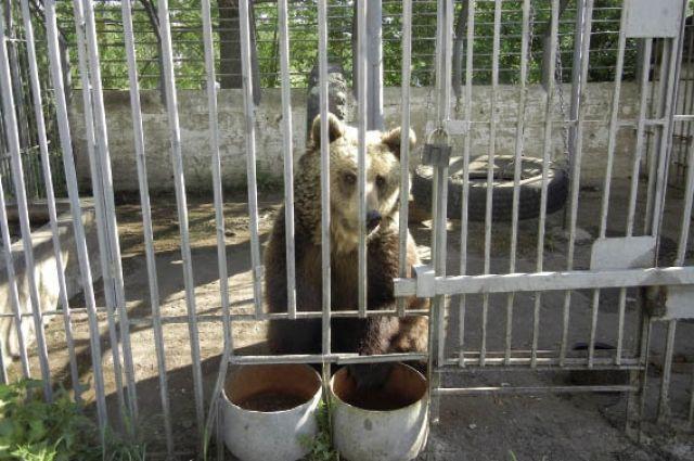 Зоозащитники собирают деньги, чтобы купить добродушную медведицу Умку