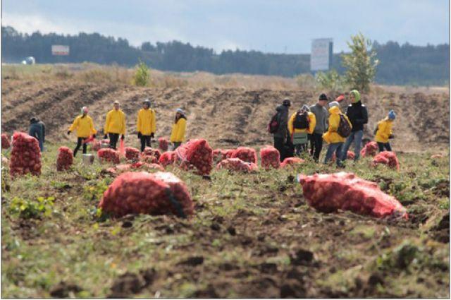 Трудоотрядовцы сами вырастили картофель.
