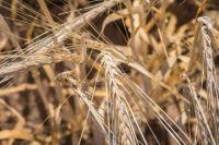 Уборка зерновых площадей продолжается.