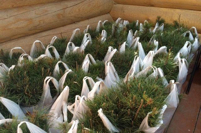 Молыдые кедры высадили в Емельяновском районе.